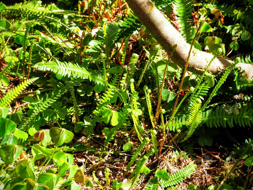 Here are some sorrel and young ferns. These sorrel have folded their shamrock-shaped leaves to keep them from scorching in the sun.