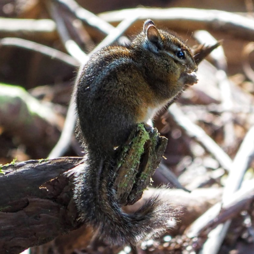 A chipmunk making efficient work of extracting seeds from the many redwood cones.