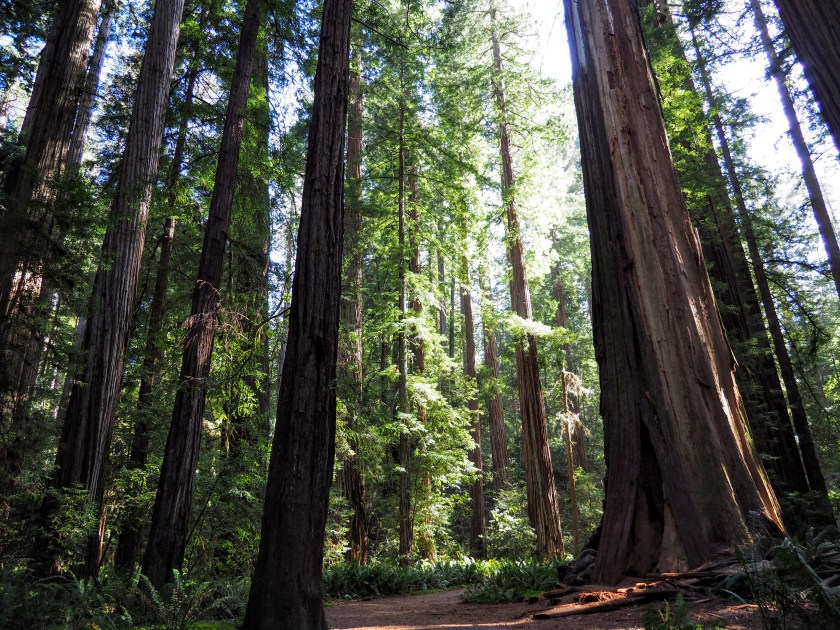 Coast redwoods in a clearing