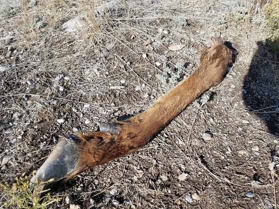 Elk Leg