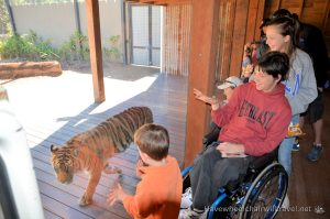 TARONGA ZOO'S TIGER TREK – WHEELCHAIR ACCESSIBLE SYDNEY