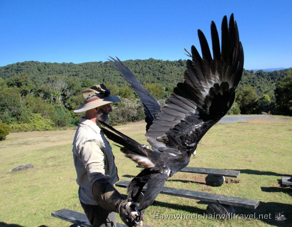 Birds of Prey show O'Reily's Rainforest Retreat