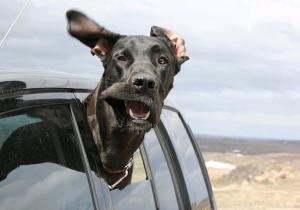Dogs-In-Car-Windows-15