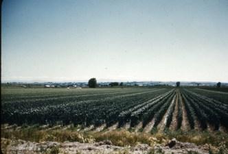 Hybrid onion seed field