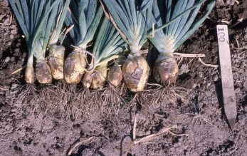 IA2578Btall onions in field 1963