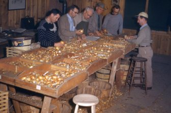 Onion sorting Greeley 1952