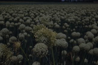 Aster yellows in seed onions
