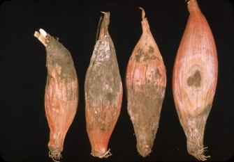 Botrytis allii Italian Red 48