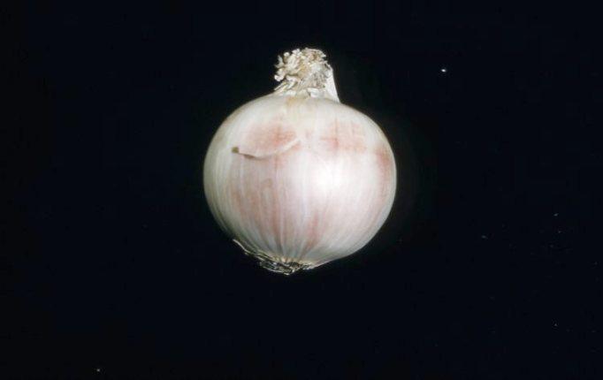 Fusarium on white onion 1959