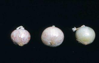 Fusarium on white onion Greeley 1960