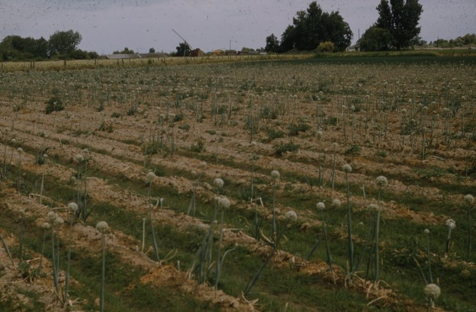 Maggot damage onion seed field Parma 1957