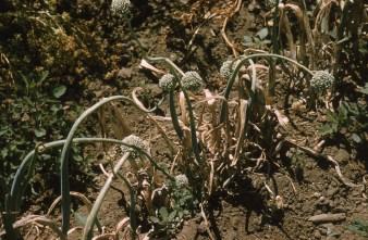 Mildew on onion seed stalks Salinas 61
