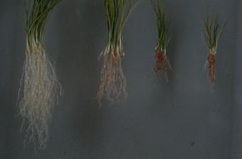 Onion pink root seedling screen Good 1953