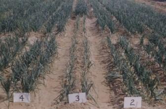 Pink root Clark Farm Laredo March 54 2 granex 3 TEG951 4 Excel
