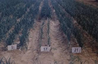 Pink root Laredo Clark Farm March 54 L303W (1) Grano x SJF2 (17) L303 x L281 (21)