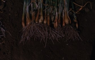Pink root resistance Crystal City TX Tr276 PP susceptible