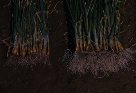 Pink root resistance TR276 Susc TR256 R Crystal City Tex