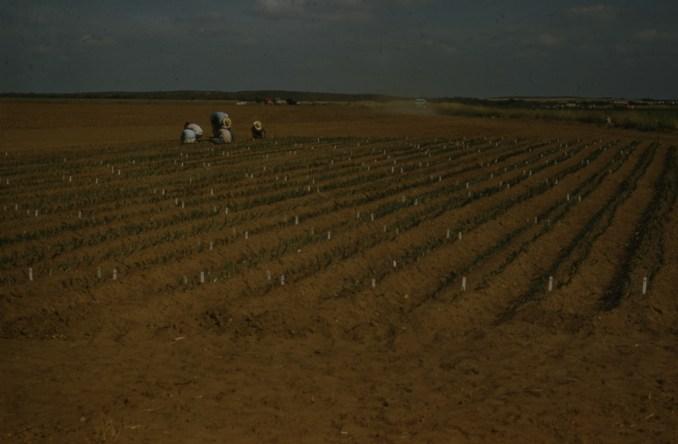 Pink root trials Laredo TX Dec 56