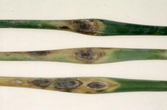Purple blotch on seed scapes Beltsville 1962