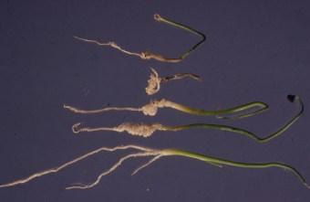 White rot onion seedlings uninoc and inoc