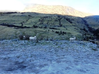 moke lake sheep