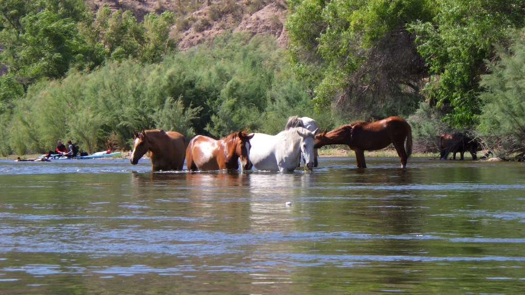 Wild Horses getting a drink along the Salt River in Mesa Arizona