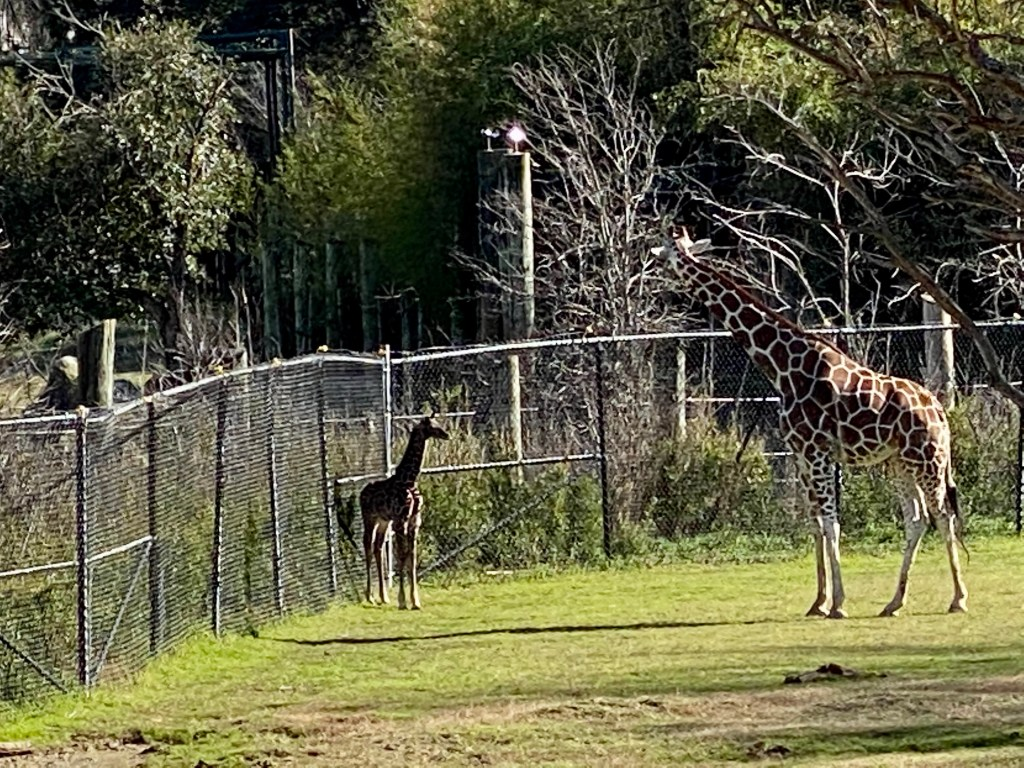 Mother Penelope and baby giraffe Zeke at the Cameron Park Zoo in Waco Texas