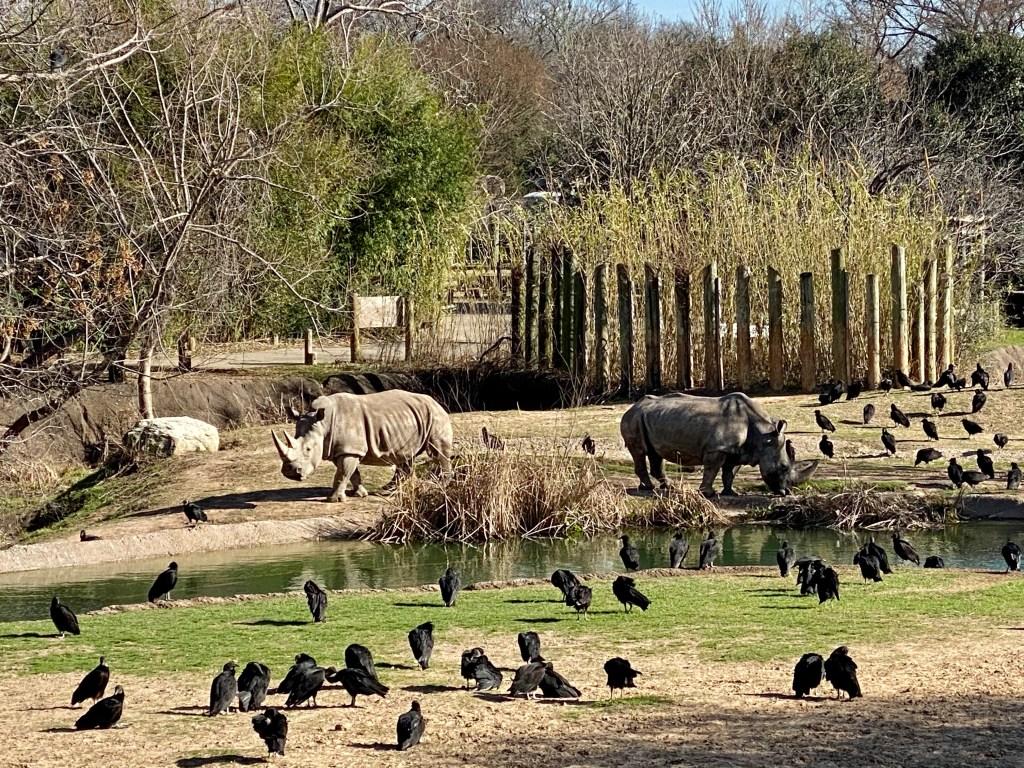 Rhinos at the Cameron Park Zoo exhibit