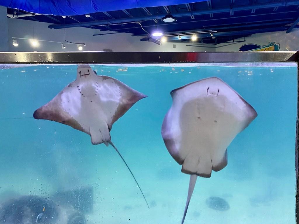 Stingray Tank at Sea Quest Aquarium in Fort Worth