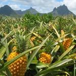 Ananasfeld