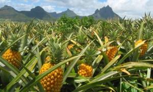 Ananasfelder Lanai