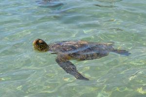 Schildkröten in Hawaii