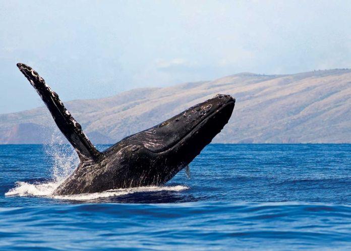 Buckelwale in Hawaii