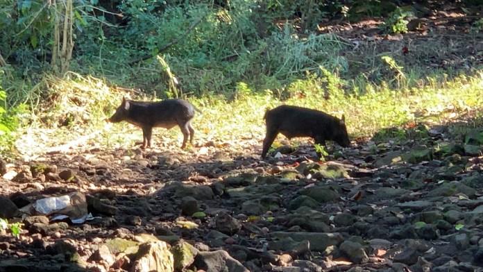 Wildschweine in Hawaii