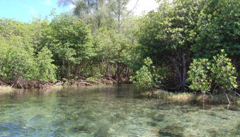 Mangrove trees poisoned, left to rot | Hawaii 24/7