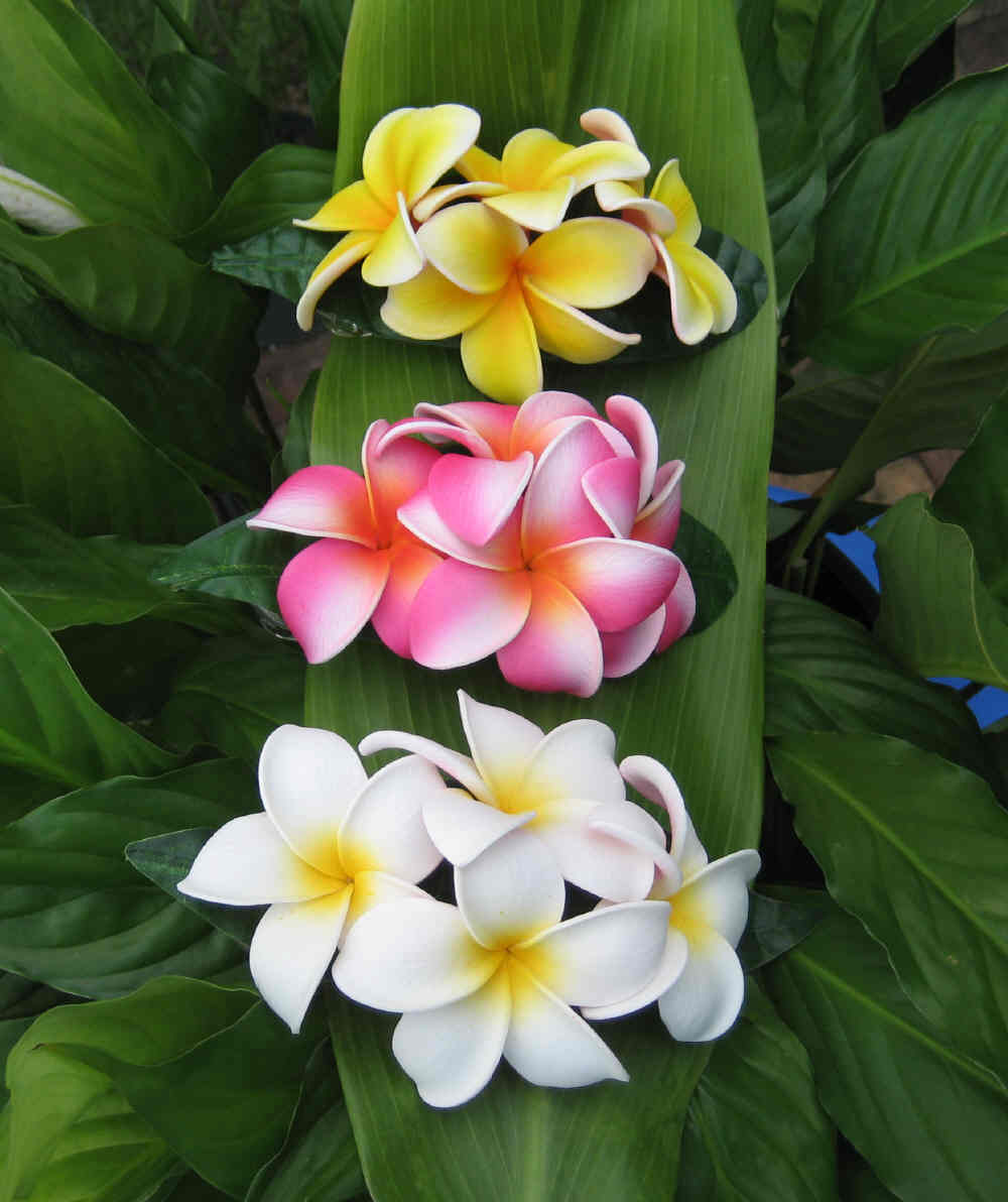 Beautiful Hawaiian Flower Plumeria