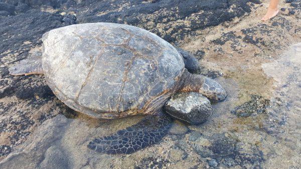 honu turtle experience