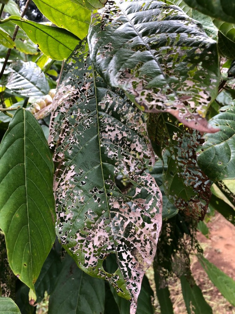 acceptable damage from rose beetle, cacao leaf