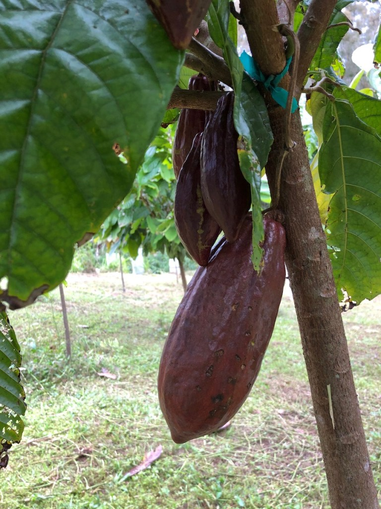 young read cacao pods on tree