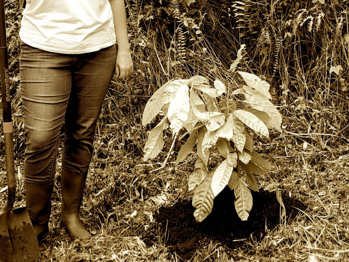 cacao tree, person holding shovel