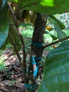 Hamakua Chocolate Farm, grafted cacao tree
