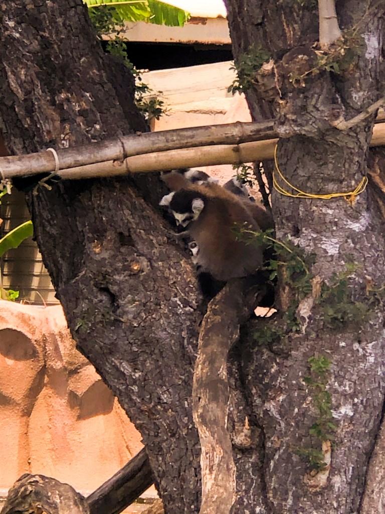 Baby Lemurs at the Honolulu Zoo