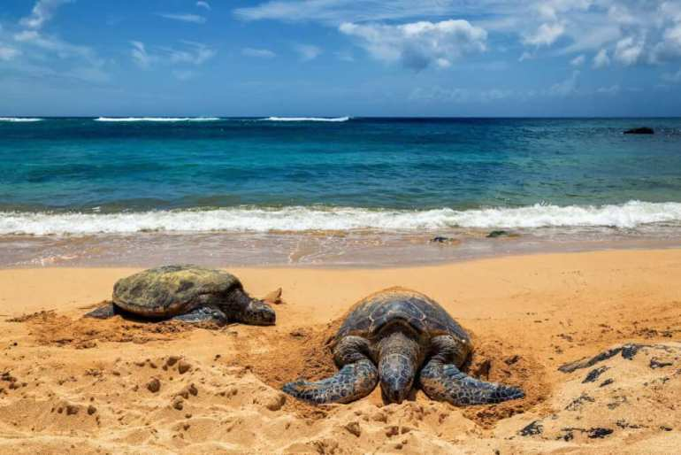 50 Best Places to Visit in Hawaii with your Family featured by top Hawaii blog, Hawaii Travel with Kids: Laniakea Beach is a great place to see turtles on Oahu