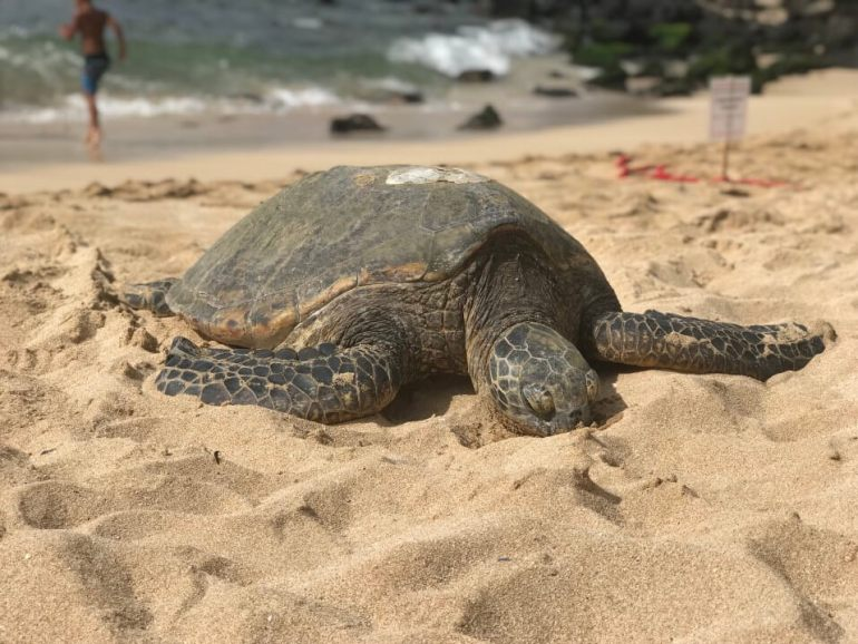 The best things to do in North Shore Oahu featured by top Hawaii blog, Hawaii Travel with Kids: Please remember not to touch Hawaiian green sea turtles like the one in this photo. Volunteers put up signage to remind tourists to give turtles some space.