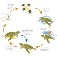 Sea Turtle Life Cycle Diagram Sub Panel Separate Ground Lifespan And - Hawksbill