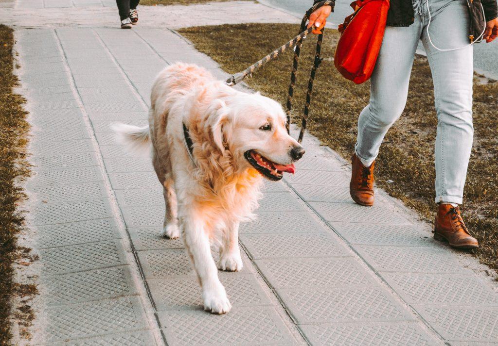 woman outside walking golden retriever dog on leash