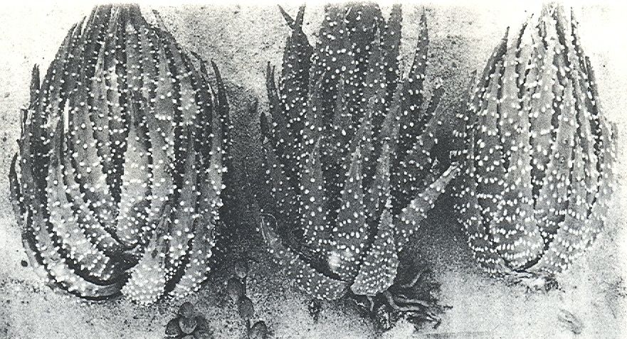 Fig.1 H. margaritifera(L.)Haw. Karoo garden, Worcester. Three typical large plants.