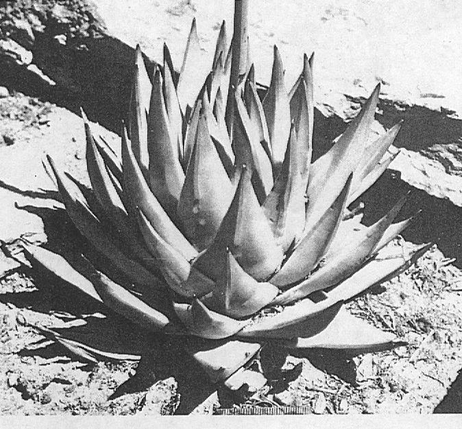 Fig. 5.  H. marginata (Lam.) Stearn, a plant from N. Ashton.