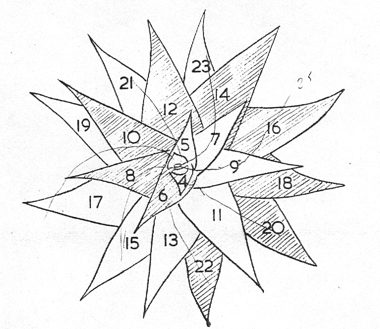 Diagram 1. Leaf arrangement in Haworthia limifolia var. ubomboensis showing the two primary counter spirals.