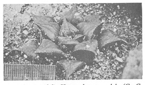 Fig. 9. H. mirabilis subsp. mundula, t.loc.